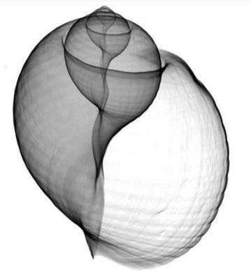 X-Ray of Turbinate Gastropod Shell -- George & Kathy Green